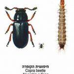חיפושית הקופרה