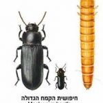 חיפושית הקמח הגדול