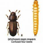חיפושית הקמח המבולבלת